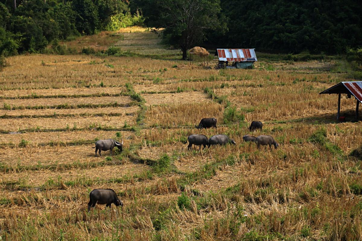 Pola ryżowe - po zbiorach