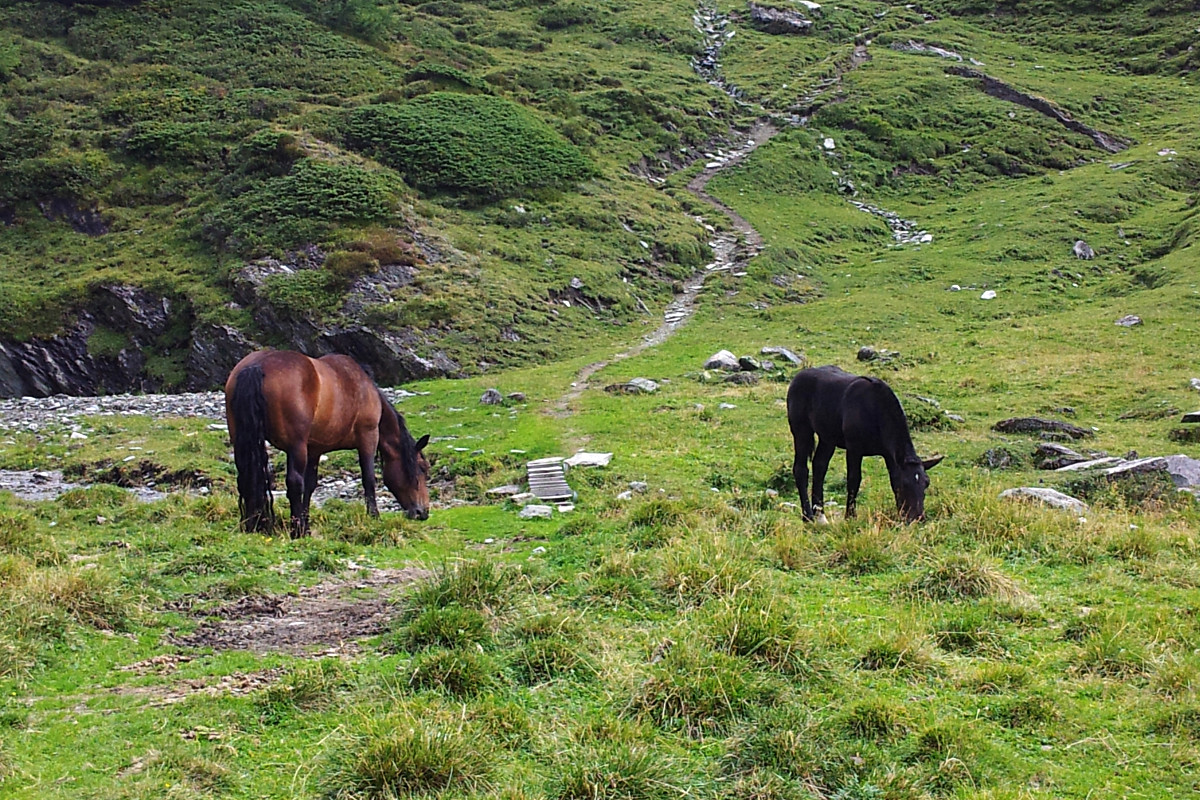 Owce, konie